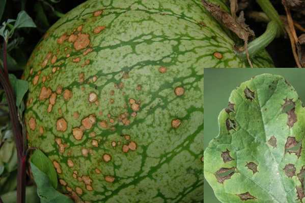 Антракноз на листьях и плодах арбуза