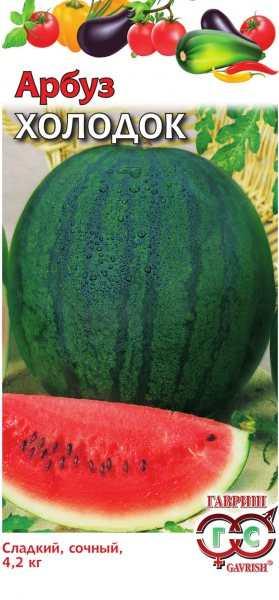 Сорт арбуза - Холодок. Один из шедевров селекции. Самый поздний, рекордно лёжкий — хранится до Нового Года и дольше.  Среднепоздний сорт, вызревает за 85-95 дней. Плоды до 7 кг. Прочная кожура, мякоть сладкая, сочная.
