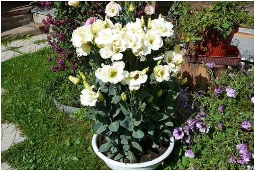 Эустома в контейнере.  Контейнерные посадки можно использовать для таких растений - «тугодумов» как эустома и гвоздика Шабо.