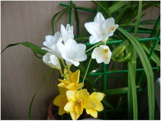 Фрезия в контейнере. Удобно в контейнеры сажать луковичные растения, особенно мелколуковичные: лютики, фрезии, мускари.