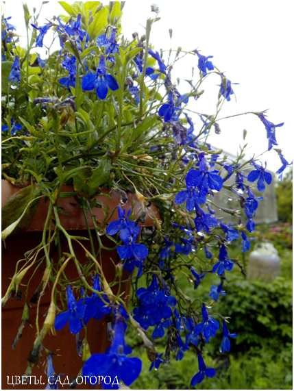 Края контейнера хорошо оформить вьющимися растениями: плектрантусом или плющом, лобелией или настурцией.