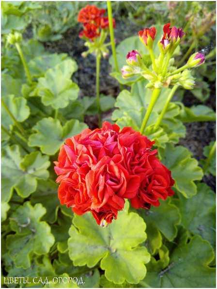 Пеларгония (герань) в контейнере. При создании контейнерного сада, как и других цветочных композиций, важно учитывать предпочтения растений к свету. На солнце можно посадить гелиотроп, вербену, пеларгонию, шалфей и алиссум.