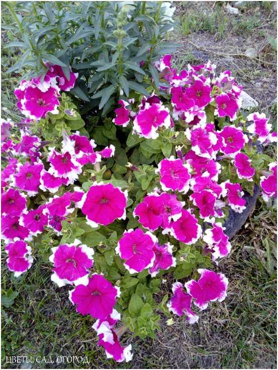Петуния в контейнере. Петунию можно сажать в разные объёмы. Но будьте готовы к тому, что её пышность сильно зависит от объёма почвы. Чем больше почвы, тем пышнее и массивнее растение.