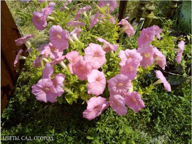 Фавориты контейнерного озеленения — разнообразные петунии, герань, бегония вечноцветущая и лобелия.