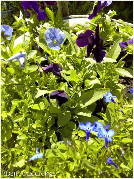 Виола и лобелия в контейнере. Важно правильно выбрать сам контейнер. Для таких растений как виола и лобелия нужно совсем мало земли. Поэтому для них можно выбрать контейнер – таз (широкий и невысокий). Виолы и лобелии можно сажать даже в очень маленькие ёмкости.
