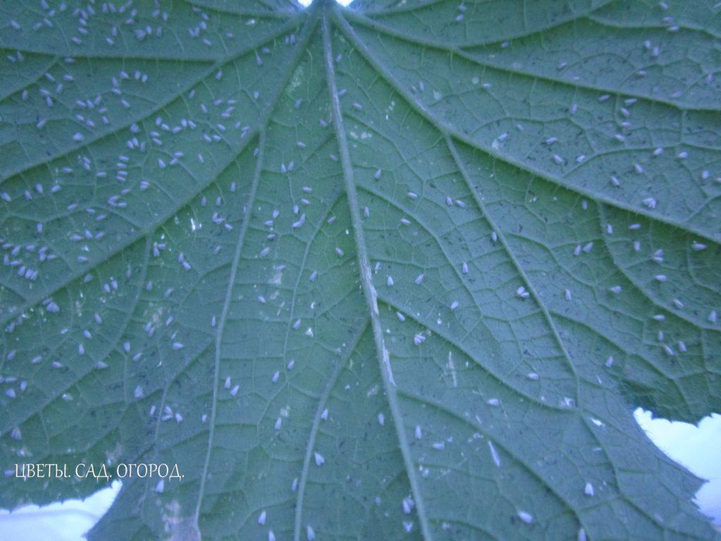Оранжерейная белокрылка на листе огурца. Среди белокрылок немало видов, которые, размножаясь в массовой численности, становятся опасными вредителями растений. Из них особенно вредоносна оранжерейная белокрылка, повреждающая огурцы, томаты и другие тепличные, а также комнатные растения.
