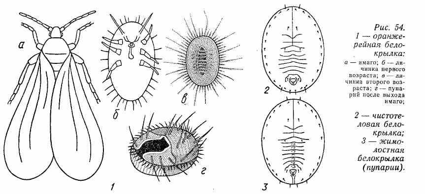 Стадии развития белокрылки. Вышедшие из яиц личинки I возраста имеют три пары ног и усики, способны свободно передвигаться. Личинки последующих возрастов теряют подвижность, ноги и усики у них рудиментарны. Личинки последнего, IV возраста, так называемые пупарии, имеют озальную форму, опоясаны восковой лентой, сверху обычно покрыты различными восковыми образованиями в виде пластин, завитков или сплошного плотного покрова. Строение пупария лежит в основе видовой диагностики алейродид.