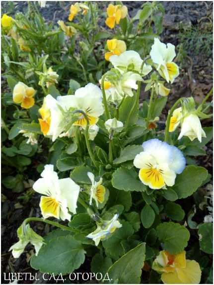 Виола рогатая (viola cornuta), или виола ампельная (многолетняя). Соцветия виолы рогатой сравнительно небольшие, их диаметр не превышает 5 сантиметров. Имеют большую цветовую гамму, лепестки синего, фиолетового или лилового оттенка, в центре цветка присутствует жёлтый глазок.
