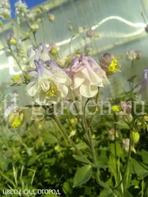 Фиолетовый цветок аквилегии