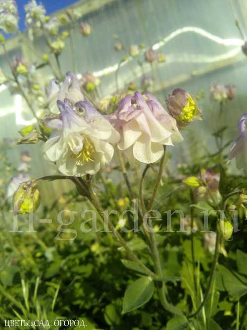 Изящные аквилегии отлично смотрятся не только в цвету: плотные, компактные кустики (до 50 см в высоту) украшают цветники своей ажурной листвой весь сезон. Цветущие растения привлекают и необычной формой цветков на высоких (до 1 м) цветоносах, и яркой, часто двухцветной окраской. Цветет в мае-июне, в благоприятных условиях цветение может продолжаться до середины июля.