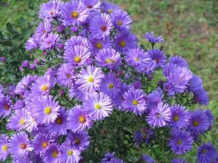 Виды и сорта многолетнихастр, выращиваемых в цветниках, различны. Отличаются высотой (от 20-30 до 90 см и более), окраской и размером цветков, сроками цветения (с конца мая - начала июня до поздней осени), но все они достаточно неприхотливы, холодостойки, засухоустойчивы; предпочитают хорошо освещенные участки с рыхлой, дренированной почвой, имеющей нейтральную или щелочную реакцию.