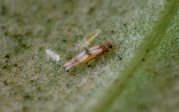 Драценовый трипс Parthenothrips dracaenae (Имаго с личинками)