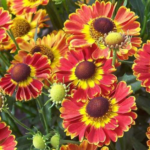 Гелениум - быстро разрастающийся, неприхотливый многолетник для осенних цветников. Желтые, красно-коричневые, двухцветные (желтые с красным мазком у основания лепестков) яркие цветки распускаются в августе и украшают сад до поздних заморозков.