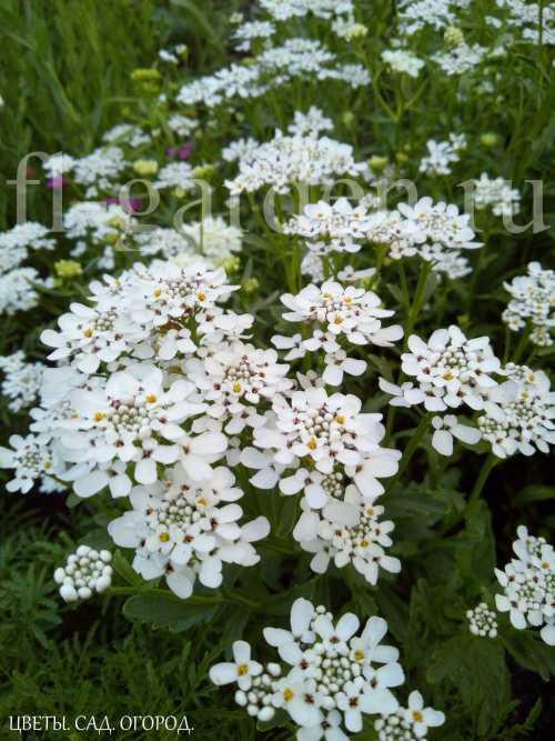 """Иберис – прекрасный многолетник для альпийской горки, бордюра или балконного ящика. Он образует невысокие пышные """"шарики"""" диаметром до 40 см, густо усеянные мелкими соцветиями. Цвет различный."""