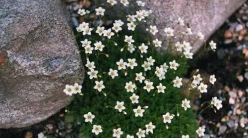 Камнеломка - многолетник, который легко вырастить из семян. Камнеломка становится очень популярной среди цветоводов как прекрасный компонент в устроении альпийской горки или рокария.