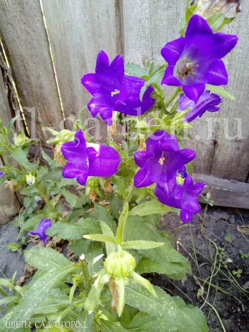 Колокольчик или «Campanula» - многолетник, который легко вырастить из семян. Это — прекрасный цветок, который часто используют для украшения садов, и особенно альпийских горок.