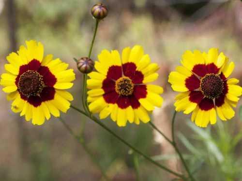 Кореопсис - многолетник, который легко вырастить из семян. Он образует небольшие кустики высотой 40 см, сплошь усыпанные пушистыми махровыми соцветиями.