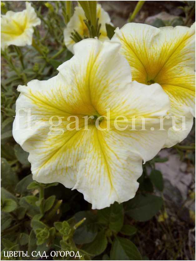 Красавица петуния Многие мечтают посадить у себя петунию, ведь её цветы очень красивы и цветёт она непрерывно с начала лета и до самых заморозков.