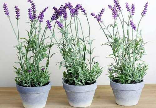 Лаванду можно выращивать и как контейнерное растение - в саду, на террасе или балконе.
