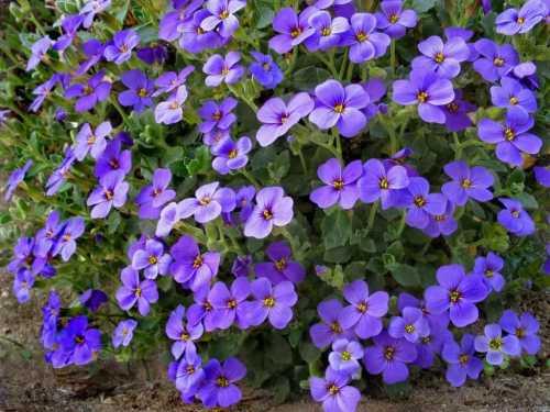 Лён многолетний поражает своей декоративностью, он имеет способность постоянно обновляться, когда на смену увядшим цветочкам , распускаются свежие голубые и белые бутоны, поэтому растение всегда выглядит на сто процентов свежим.