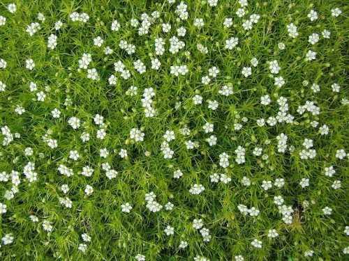 Мшанка - многолетник, который легко вырастить из семян. Мшанка шиловидная – многолетнее растение семейства «гвоздичных». Ирландский мох, как еще называют мшанку шиловидную, наиболее распространен в Европе, где он широко используется для организации газона.