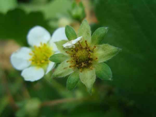 Обыкновенный трипс на цветках клубниким