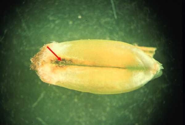 Пораженное пшеничным трипсом (Haplothrips tritici) зерно