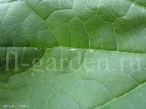 Появление первых следов пребывания трипса на листе огурца