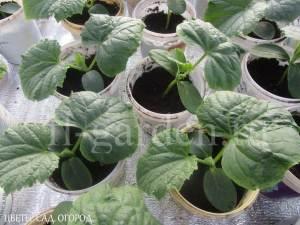 Расстановка рассады огурца: первые листья повернуты в одну сторону