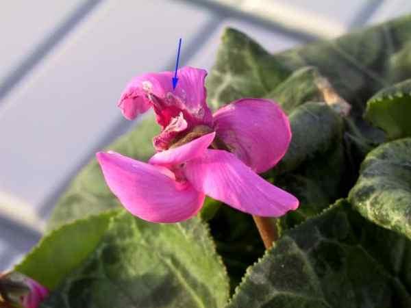 Результат поражения калифорнийским трипсом цветка цикламены