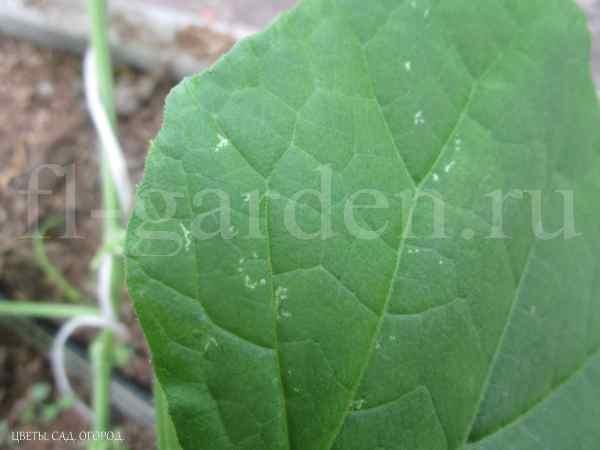 Следы жизнедеятельности трипса на листе огурца