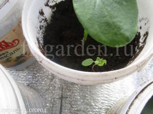 Проросток сорного растения  в купленном торфогрунте