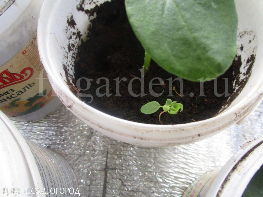 Проросток сорного растения  в купленном торфогрунте.