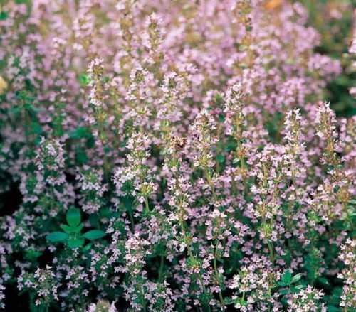 Тимьян - многолетник, который легко вырастить из семян. Тимьян - теплолюбивое, засухоустойчивое растение, которое отлично подходит для выращивания в рокариях, солнечных цветниках, бордюрах.