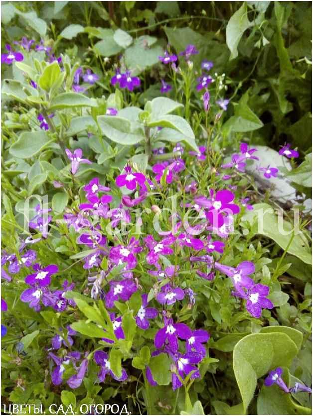 Лобелия Эринус (пурпурная)
