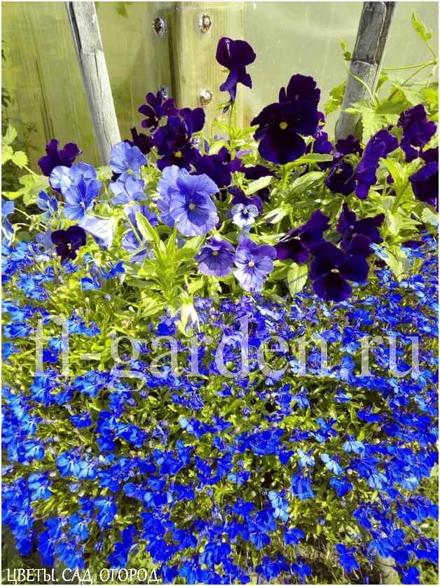 Хорошо смотрится лобелия рядом с петунией, пеларгонией, гвоздикой, бальзамином, виолой. Хороши сочетания как контрастные, так и в одном цвете.