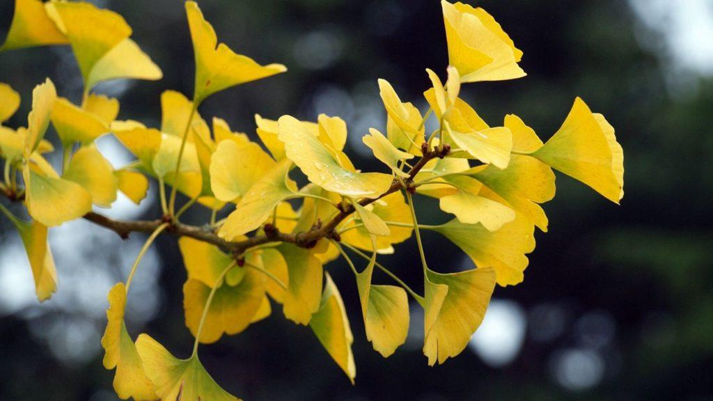 Во всем мире гинкго ценят за уникальные целебные свойства листьев. Их используют для изготовления медицинских препаратов, а также применяют в народной медицине. Многие считают, что в суровых климатических условиях средней полосы вырастить гинкго невозможно, тем не менее, эти деревья все чаще появляются на загородных участках дачников. И неспроста, ведь осенью они выглядят даже более нарядными, чем летом: листва из ярко-зеленой становится шафраново-желтой.