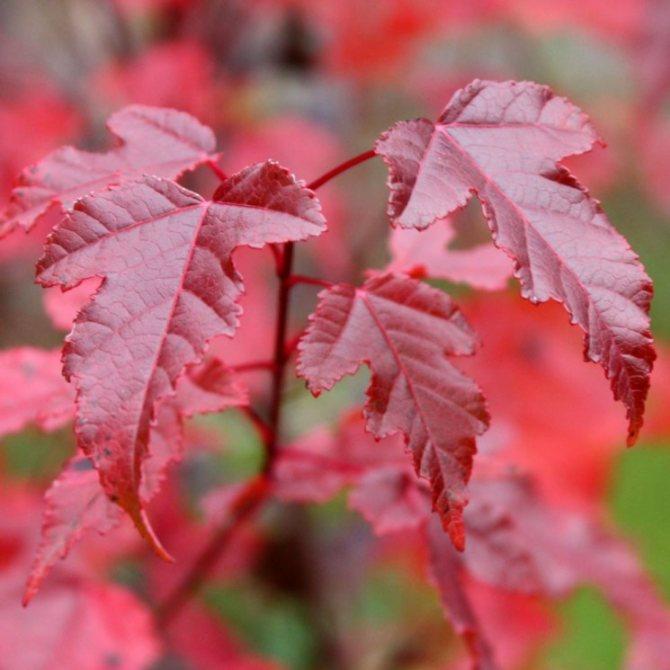 Клен приречный представляет собой высокое дерево (до 4-6 м в высоту). Красоту и изящество этого растения таят в себе глубоко изрезанные пальчатые листья. Они прекрасны в течение всего сезона, но особенно – в осеннее время, когда листва приобретает красно-оранжевые оттенки.