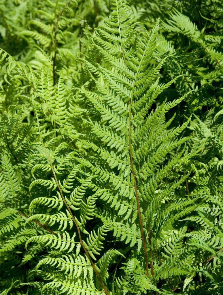 Кочедыжник– под этим названием объединяется множество разнообразных сортов папоротника с зелеными, красными, серебристыми и даже черными листьями различной формы.