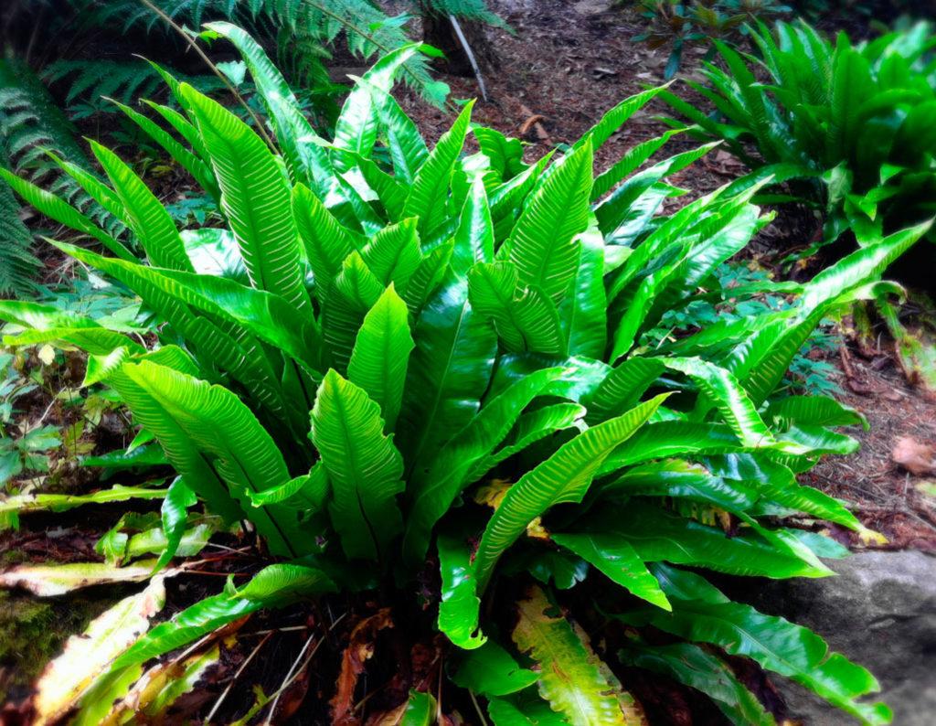 Листовик японский – высотой около 40 см, привлекателен темно-зелеными, растущими хаотично листьями;