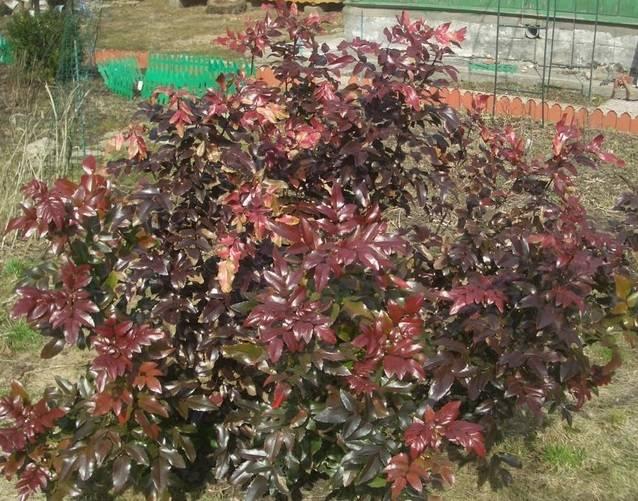 Магония падуболистная Антропурпурея - растение, которое может похвастаться невероятной декоративностью листвы в осенний период.