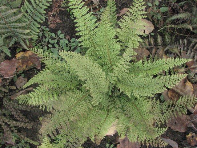 Многорядник щетинконосный– вечнозеленый кустарник высотой до 1 м