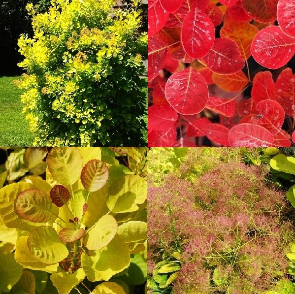 """Скумпия кожевенная Голден Спирит получила свое название не просто так. Ее желтые листья с оранжевым налетом по краям придают ей очарования весь сезон. Летом кустарник дополнительно украшают метельчатые соцветия, образующие вокруг растения розовую """"дымку"""". Осенью же на листьях загорается красно-оранжевый румянец, постепенно заливающий всю их поверхность."""