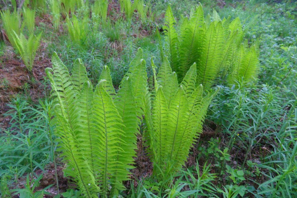 Страусник– в высоту может достигать 1,5 м, привлекателен изящными светло-зелеными листьями, которые по форме напоминают перья страуса;