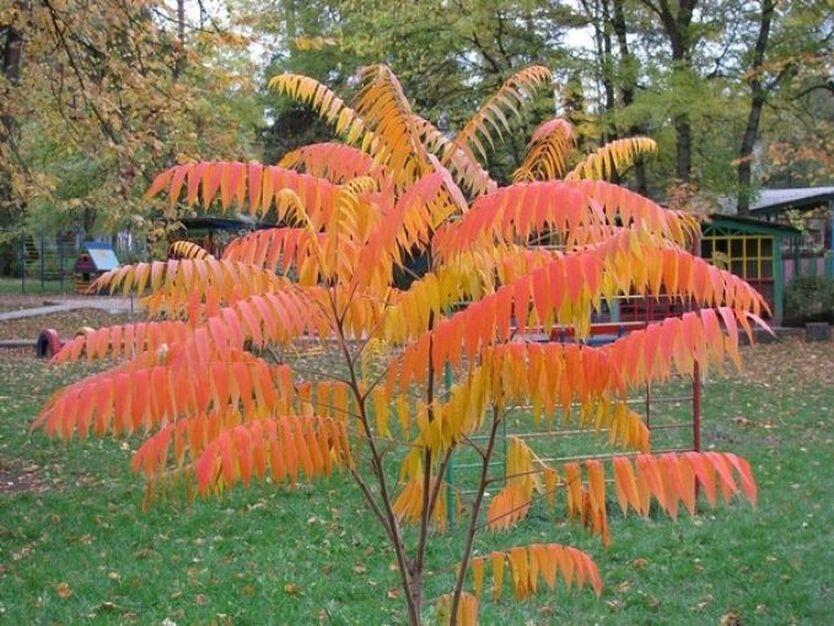 Сумах – это эффектное и яркое дерево, чья листва к осени превращается в багряно-красную, оранжевую или желтую, а иногда и всё вместе, сразу. Это сумасшедшее зрелище! В то время как другие растения в саду отправляются на покой, у этой культуры будто начинается вторая жизнь. Сумах не теряет своей декоративности ни поздней осенью, ни зимой - после опадения листвы на ветках еще останутся ягоды, которые будут украшать растение до самой весны. Минус растения в том, что не во всех регионах зимостоек. Хотя слышала, что его успешно выращивают и в Московской области, и в южных регионах Сибири. Однако, нужно смотреть по своему климату.