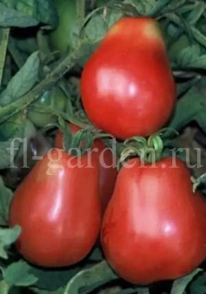 Фотографии плодов сорта Красный трюфель.