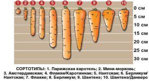 Деление моркови на сортотипы по размеру и форме