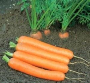 Морковь сортотипа Берликум (Берликумер)