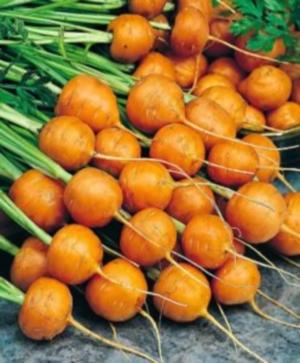 Морковь сортотипа Парижская каротель
