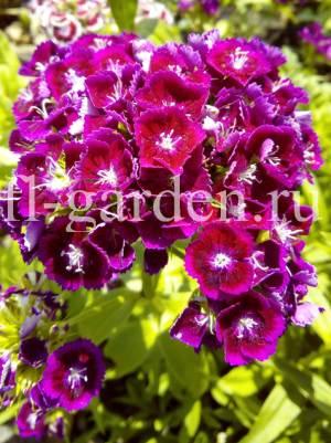 Обильное соцветие турецкой гвоздики